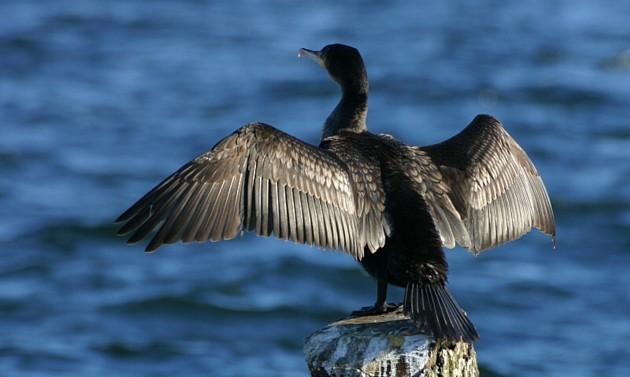 cormorano riserva